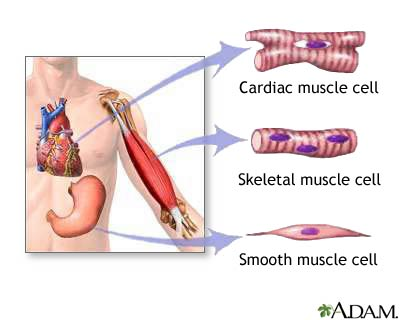 muscle system | new health guide, Muscles
