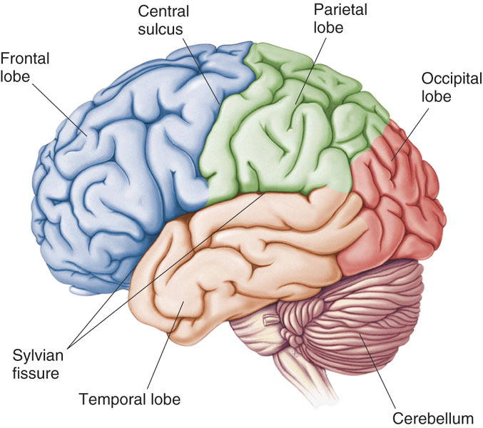Structure And Function Of Brain New Health Guide