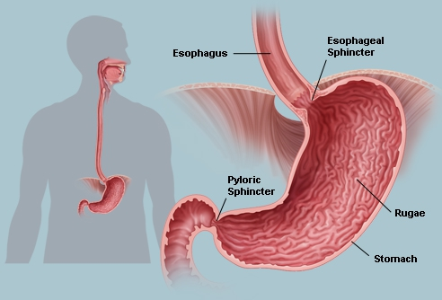 Real human esophagus - photo#10