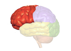 functions of cerebrum and other brain parts new health guide