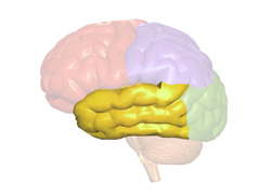 functions of the cerebrum and other brain parts | new health guide, Human Body