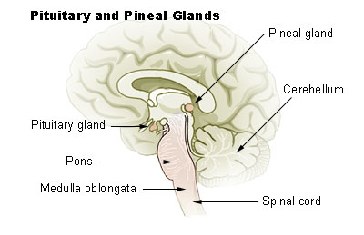 what's the function of pineal gland? | new health guide, Human Body