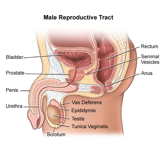What S The Scrotum Function In Reproduction New Health