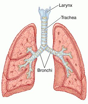 function of the trachea and other respiratory organs | new health, Human body