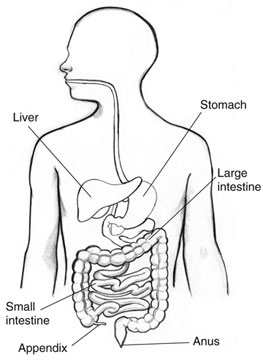 what side is the appendix on? | new health guide, Human Body