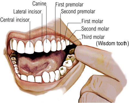 How Many Teeth In The Adult Mouth 111