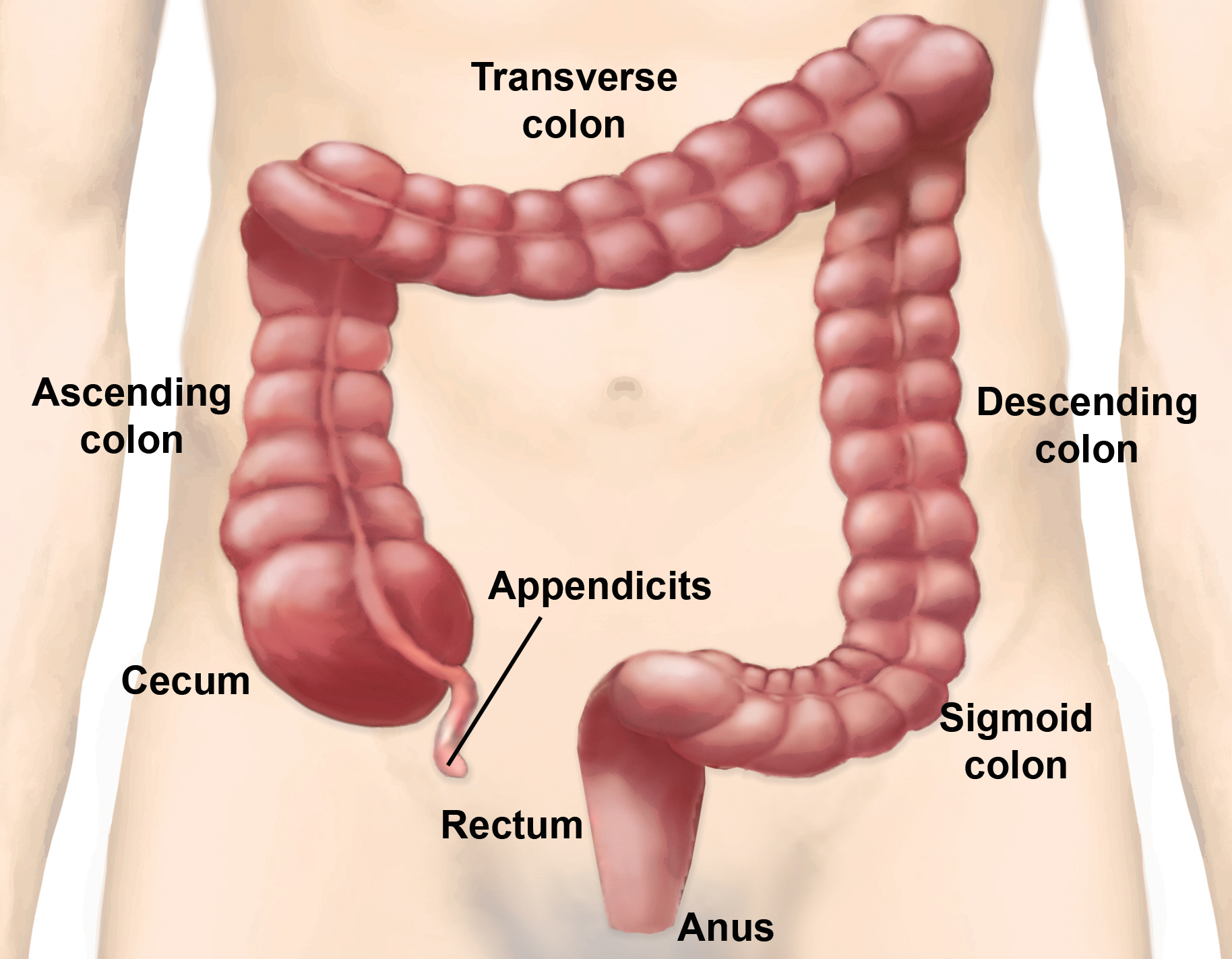 Large Intestine Parts And Functions New Health Guide