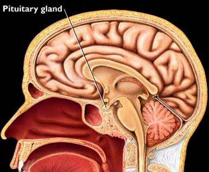 what hormone does the pituitary gland secrete? | new health guide, Human Body