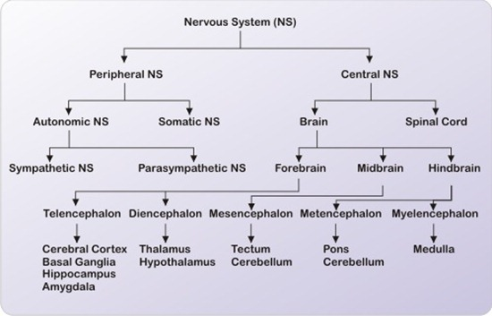 functions of the nervous system | new health guide, Cephalic Vein
