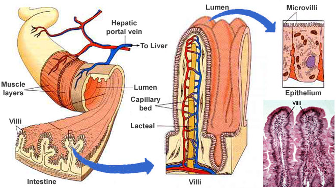 How Small Intestine Villi Help With Nutrients Absorption New