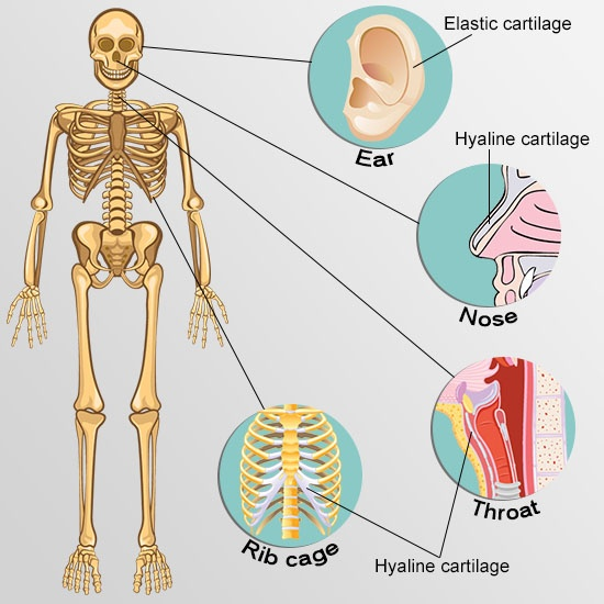 types of cartilage front view skeleton current approaches for cartilage regeneration new health guide